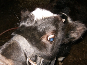 Lily--Holstein Heifer Calf